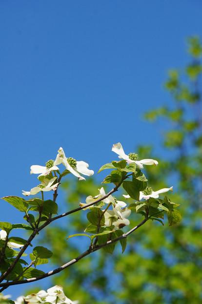 青空と新緑と花水木