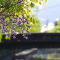 写真: 柳の緑に藤紫