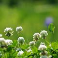写真: 白詰草