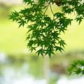 Photos: 夏もみじ