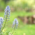 写真: ブルーのムスカリ
