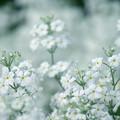写真: 白いサクラソウ
