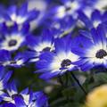 青い花群生