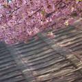 写真: 堤防の桜