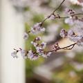 桜なのかな