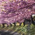 写真: 桜の並木道