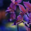 写真: 妖艶な花