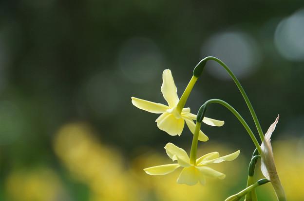 うつむく花