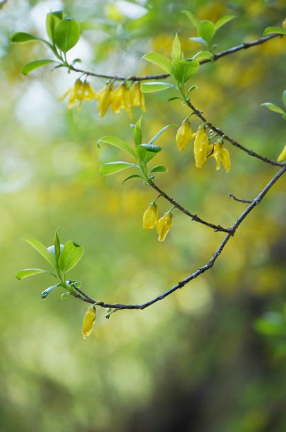 レンギョウの花
