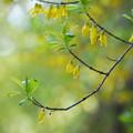 Photos: レンギョウの花
