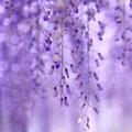 写真: 紫の帳