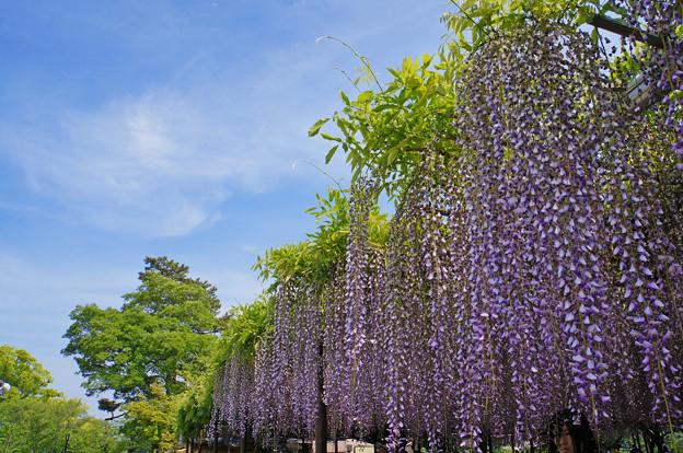 藤棚と初夏の空