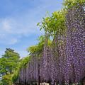 Photos: 藤棚と初夏の空