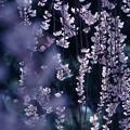 写真: 名残の春