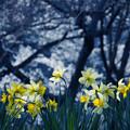 写真: 水仙と桜の木