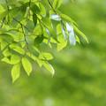 写真: 緑の葉