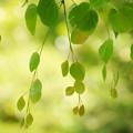写真: 緑のモビール