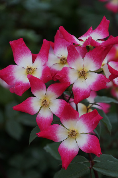 花びらグラデーション