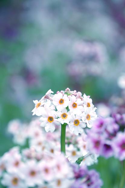 写真: 咲き集う
