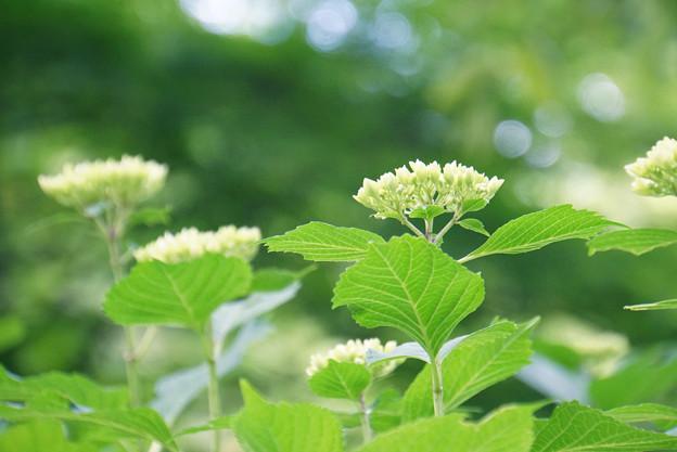 Photos: 新緑と紫陽花