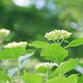 写真: 新緑と紫陽花