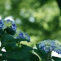 木陰の紫陽花
