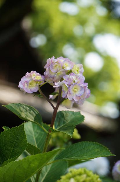変わった紫陽花