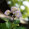 写真: 変わった紫陽花