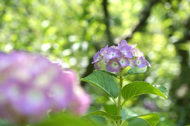 梅林の紫陽花