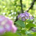 写真: 梅林の紫陽花