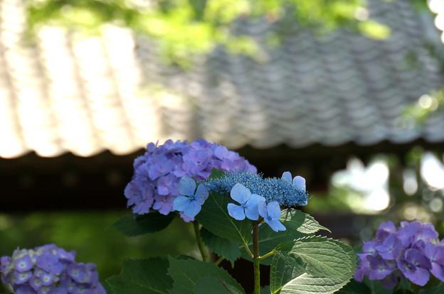 緑と甍と紫陽花と