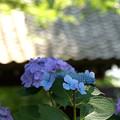 写真: 緑と甍と紫陽花と