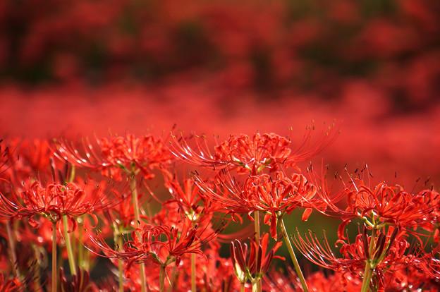 Photos: 並んで咲いて