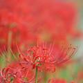 Photos: 名残の花