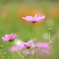 ピンクのコスモス