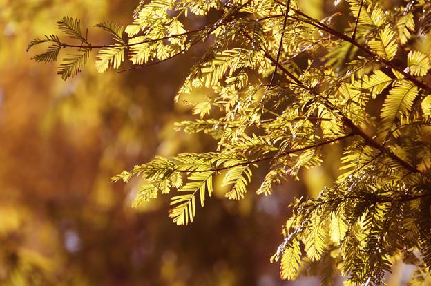 紅葉のメタセコイア