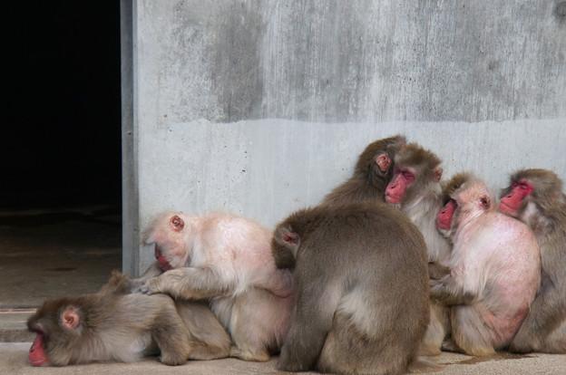 Photos: 猿だんご