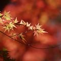 Photos: 紅葉一枝