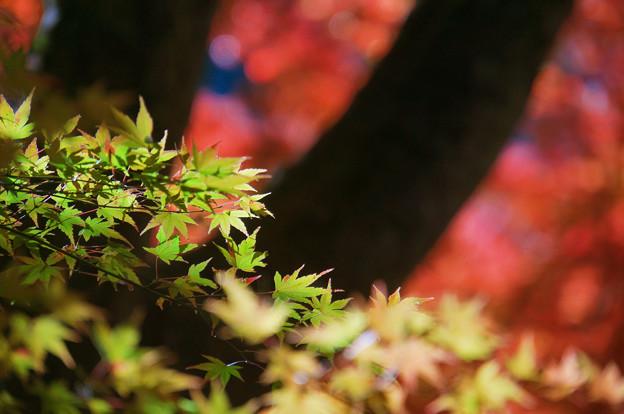 青紅葉と紅葉