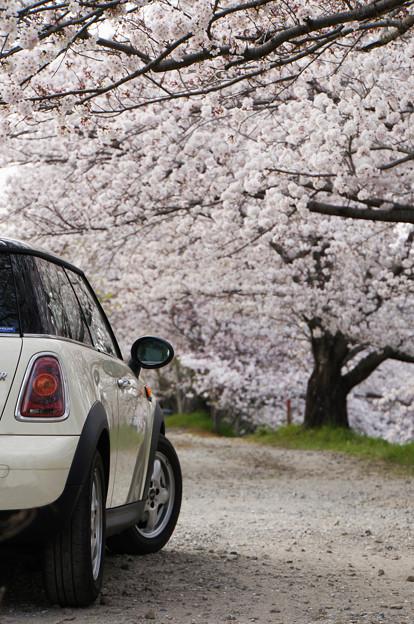 桜並木を行く