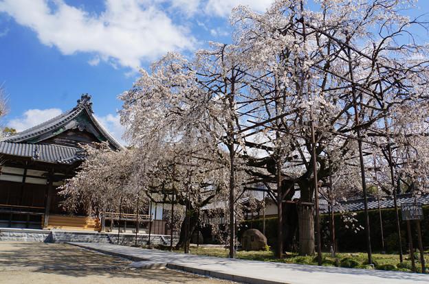 しだれ桜の寺