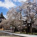 Photos: しだれ桜の寺