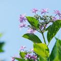 天空の紫陽花