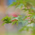 Photos: 青紅葉