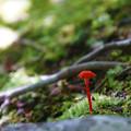 Photos: 赤いきのこ