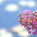 Photos: 夏の桃色