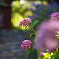 門前の紫陽花