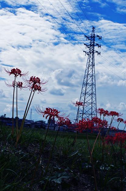 Photos: 鉄塔と彼岸花