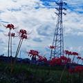 鉄塔と彼岸花