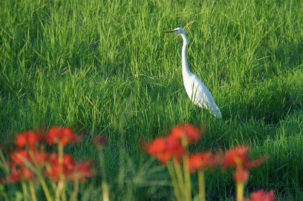 白鷺と彼岸花